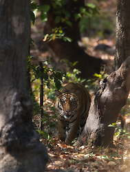 Tiger (Panthera tigris) in Bandhavgarh, India