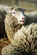Dolly the first genetically copied sheep is unveiled to the media at the Roslin institute near Edinburgh. Dolly was a female domestic sheep, and the first mammal cloned from an adult somatic cell, using the process of nuclear transfer. On 14 February 2003, Dolly was euthanised because she had a progressive lung disease and severe arthritis.