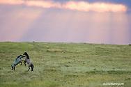 Wild horses at Theodore Roosevelt National Park in North Dakota at dawn