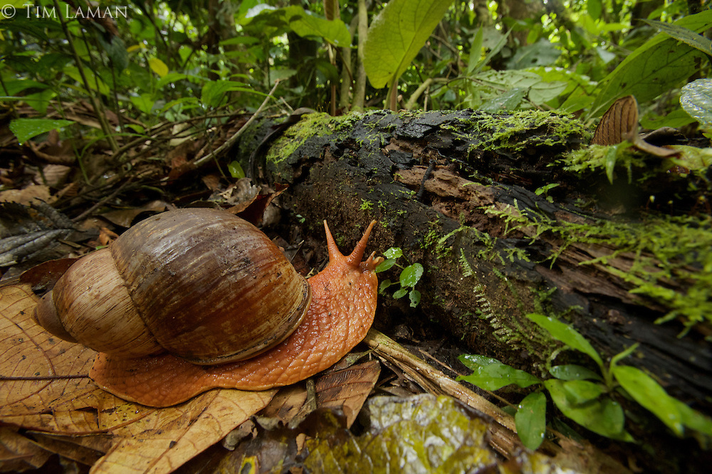 snail near Parakeet clay lick east of Anangu and south of the Napo River, Yasuni National Park, Orellana Province, Ecuador