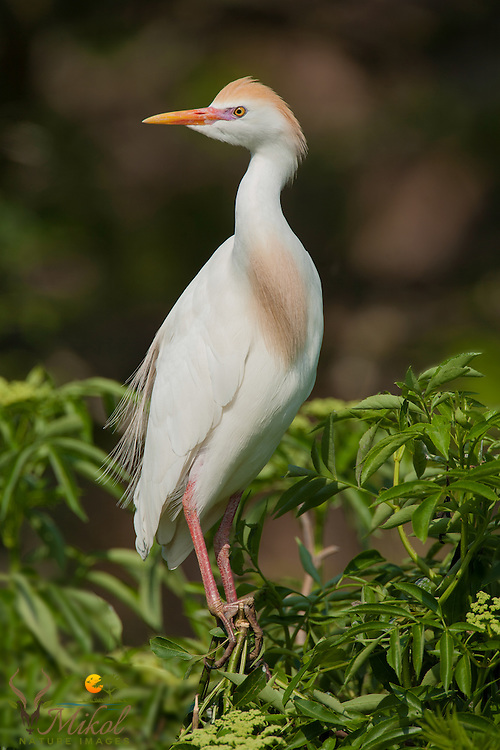 Cattle Egret Standing on Branch with Blurred Background