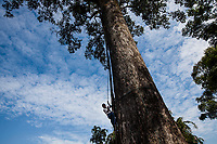 A man climbs a very large tree in northern Shan State, Myanmar.