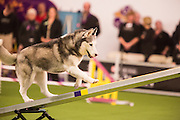 New York, NY - 8 February 2014. Bristol, A Siberian husky, climbing the seesaw. After the seesaw tilts, the dogs must touch the contact zone at the bottom in order to qualify.