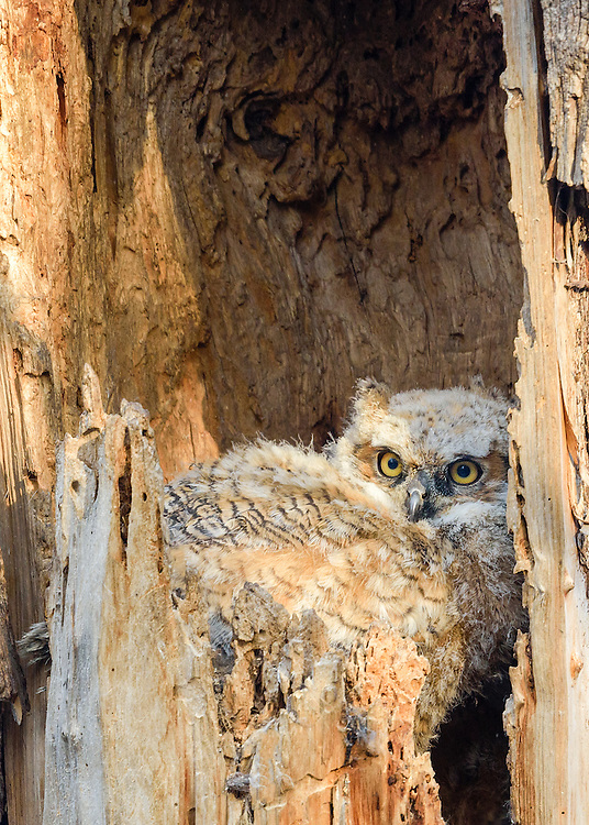Great Horned Owlet in nest, Boulder County, Colorado