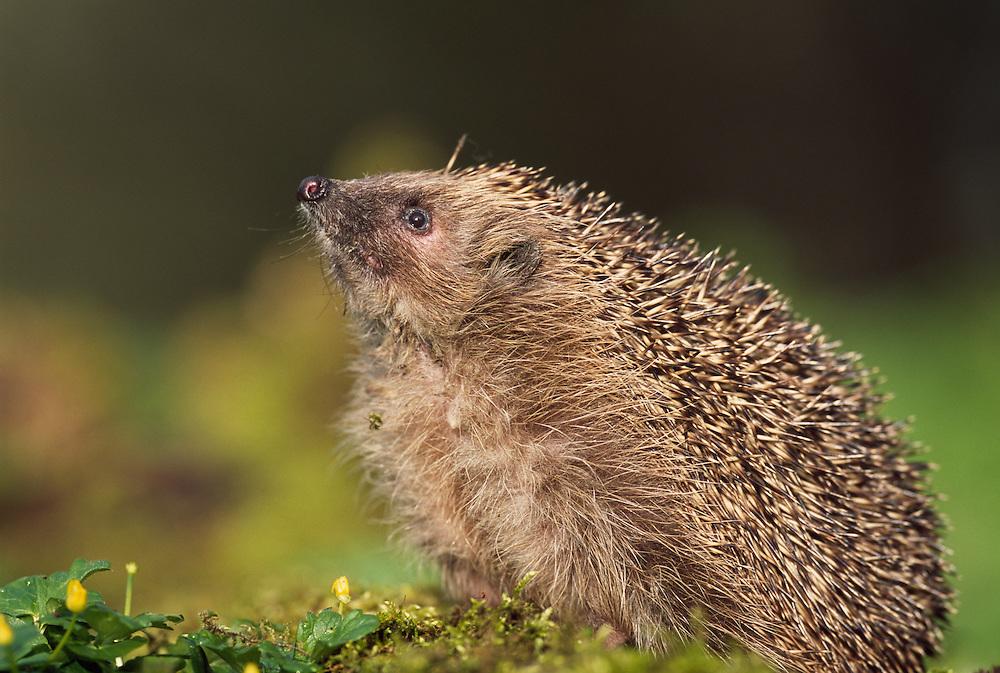Hedgehog sniffing the air, Scotland