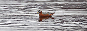 Red Necked Phalarope on pond, Svalbard.