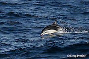 dusky dolphin, Lagenorhynchus obscurus, porpoising, Kaikourua, South Island, New Zealand ( South Pacific Ocean )