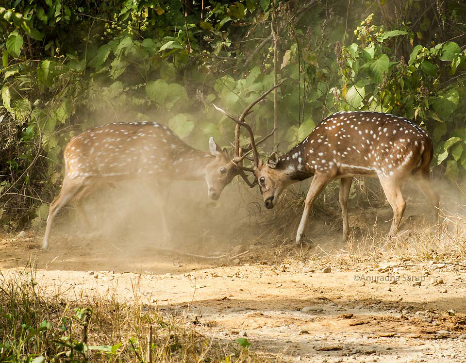 Male Spotted Deer fight for herd supremacy