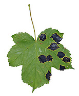 Acer Tar Spot - on leaf of Sycamore caused by Rhytisma acerinum, the teleomorph stage in the life cycle of a fungus