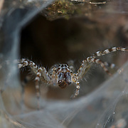 Lawn Wolf Spider (Hippasa holmerae) at its web in Pang Sida National Park in Thailand..