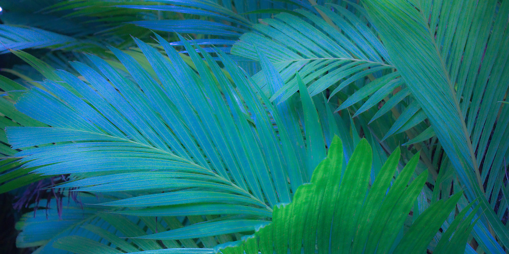 Photo art design of Tiger Palm - Pinanga Maculata