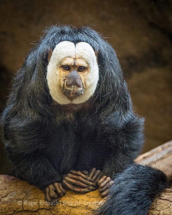 Saki Monkey, Thick, Long-Coated Fuzzy Face at Kansas City Zoo