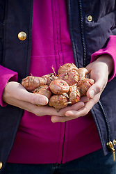 Handful of gladiolus bulbs ready to plant out
