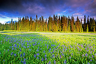 Packer Meadows and camas blooming. Lewis and Clark National Historic Trail in the Clearwater National Forest. Idaho Montana Divide.