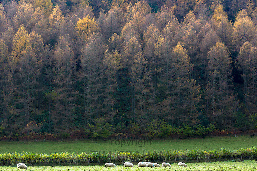 Sheep by larch trees in shades of colour in coniferous forest plantation for timber production in the Brecon Beacons, Wales, UK
