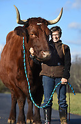 Photo by Mara Lavitt<br /> December 3, 2015 <br /> Nancy Kalal's bovines.