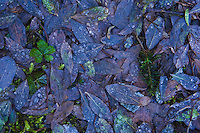 Closeup of fallen leaves on the ground covered with melting ice and water droplets.