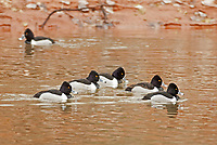 A group of Ring Necked Ducks in February rests on an irrigation pond in southern Utah.