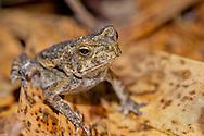 Alberto Carrera, Tropical Frog, Tropical Rainforest, Marino Ballena National Park, Uvita de Osa, Puntarenas, Costa Rica, Central America, America
