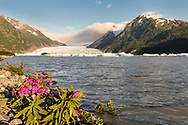 Late evening sun on Dwarf Fireweed and Spencer Glacier in the Chugach National Forest in Southcentral Alaska. Summer.
