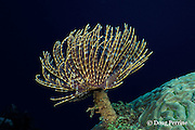 magnificent feather duster tube worm, Sabellastarte magnifica, Saint Vincent, St. Vincent & the Grenadines, West Indies ( Caribbean Sea )