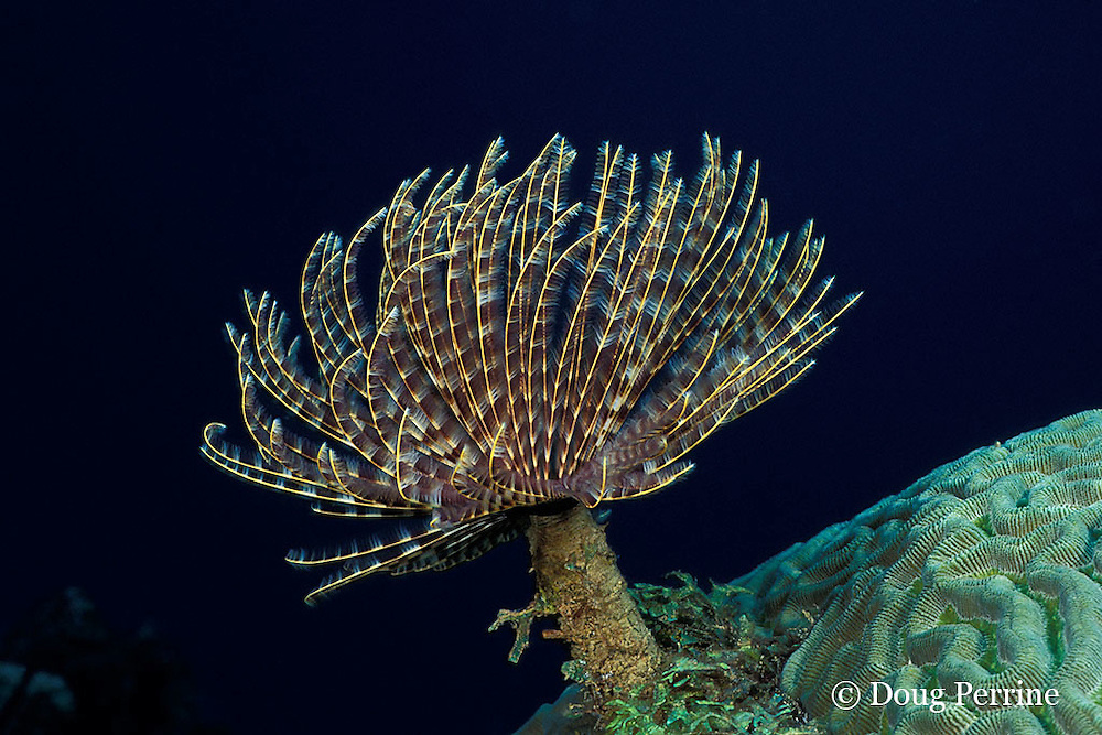 magnificent feather duster tube worm, Sabellastarte magnifica, Saint Vincent, St. Vincent & the Grenadines, West Indies ( Caribbean Sea )