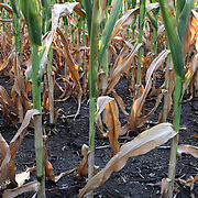 Chenoa, Illinois: Corn crop near Chenoa July 15, 2012. Severe drought has stressed the 2012 corn crop in Illinois lowering the acreage yield for farmers. Every day without rain brings further deterioration in the corn crop raising .commodity prices.    Jose More Photography            .                  **Files available in RAW format**