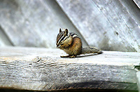 Least Chipmunk (Tamias minimus), Waterton Lakes National Park, Alberta, Canada