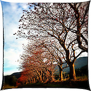 Spring Buds on Flame Trees along Yellow Rock Road, Albion Park, NSW, Australia