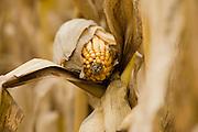 Corn harvesting East of Gayville, South Dakota on Thursday, November 12, 2009.