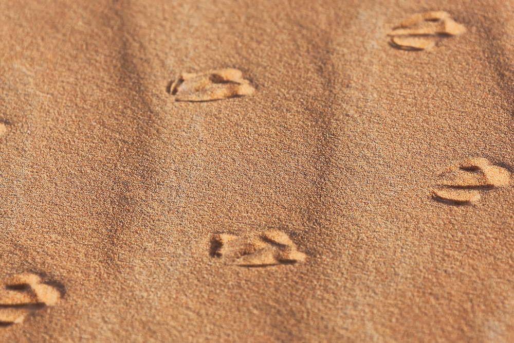 Track of a sand grouse (Pteroclididae) in sand, Sahara desert, Morocco.