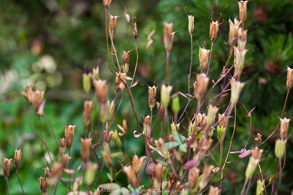 Seed pods of Wild Columbine (Aquilegia canadensis) a native North American perennial.