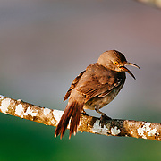 Curved-bill Thrasher perched on a tree branch in early morning light in South Texas.