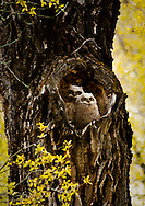 Love Nest - Great Horned Owls - Grand Teton National Park, Wyoming Edition of 100 EXP0193