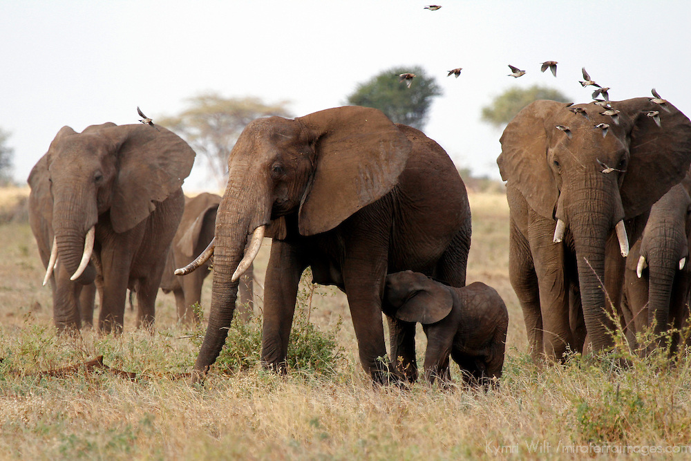 Africa, Kenya, Meru. Baby elephant nursing in Meru national Park.