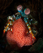 A Mantis shrimp carrying eggs. In the Philippines, muck divers head straight to Dauin to begin the hunt. It is considered one of the premier muck diving locations on the planet. On a bad day at Dauin, you can spot more rare animals than a decade out on the reef...