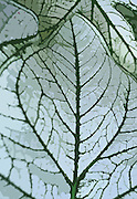 Fancy Leafed Caladium, caladium candidum Close-up, Philadelphia gardens and arboretums, Longwood Gardens, Chester Co., PA, digitally enhanced