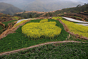 "LISHUI, CHINA - (CHINA OUT)<br /> <br /> An aerial view of the rape flowers field shows an ""apple"" on March 29, 2014 in Lishui, Zhejiang province of China. <br /> ©Exclusivepix"