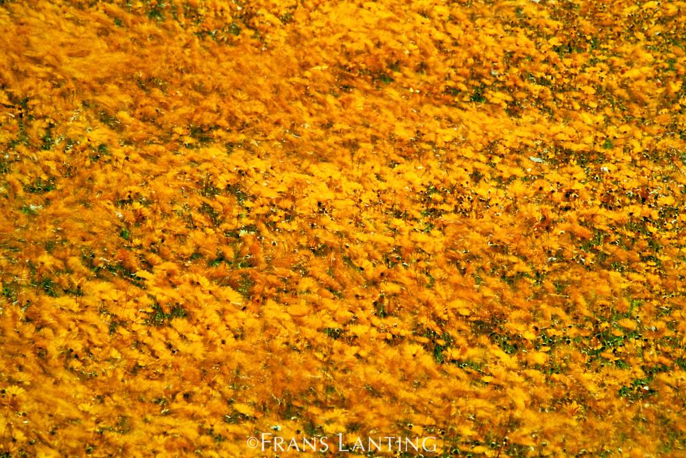 Daisies in wind, Ursunia cakilefolia, Namaqualand National Park, South Africa