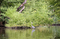 Great blue heron on Lady Bird Lake, Austin, Texas