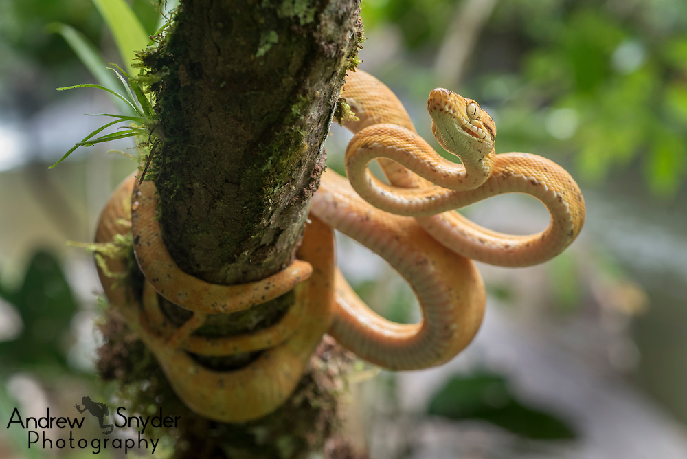 A yellow phase Amazon tree boa (Corallus hortulanus) from the Kanuku Mountains.