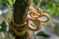 A yellow phase Amazon tree boa (Corallus hortulanus) from the Kanuku Mountains.
