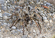 River Bear-Spider, Arctosa cinerea - Female. On river gravel, West Wales. This largest Wolf spider in Britain and is a local specialist on fast flowing rivers Scotland, Wales and Northern England.