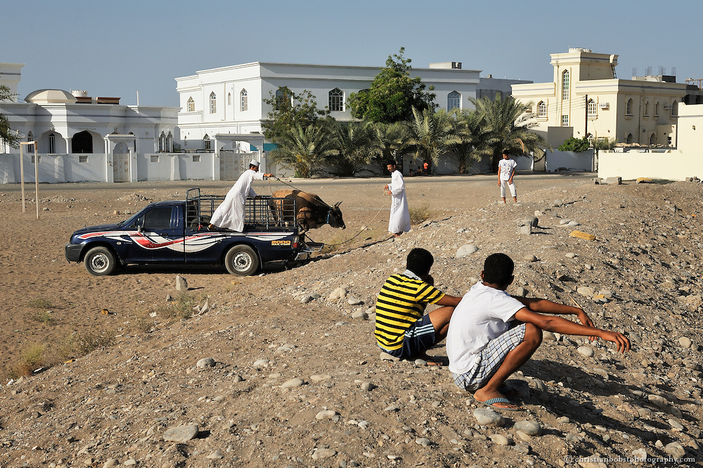 Men release a bull from a pickup for a Bull fight in Barka, Oman 2011