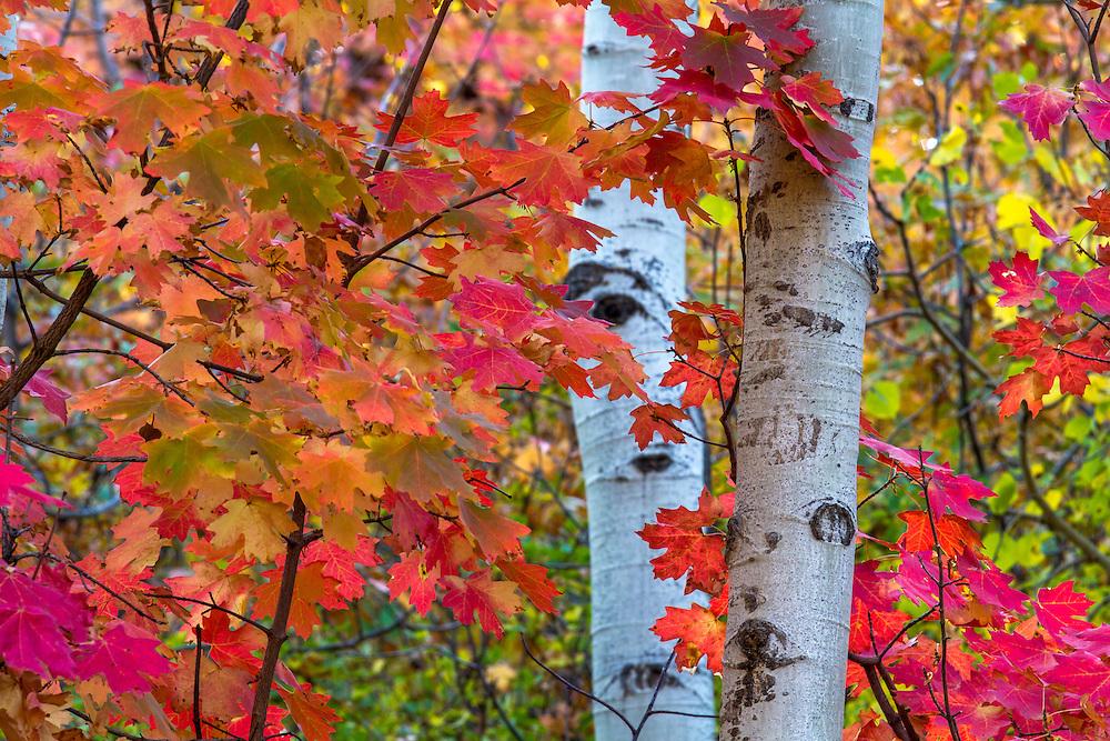 Two white aspen tree trunks against the red-orange maple leaves from 2012 Utah Fall colors