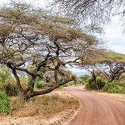 A dirt road winds through the acacia trees at Lake Manyara National Park in northern Tanzania.