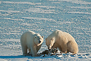 Polar bears Ursus maritimus eating seaweed on frozen tundra<br /> Churchill<br /> Manitoba<br /> Canada