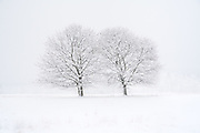 Two Trees stand intertwined in a field in heavy snow.