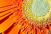 Stock Photo of an Orange Daisy