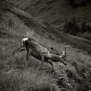 young stag, glen Etive